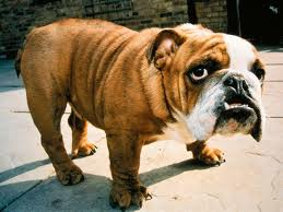 generic english bulldog picture