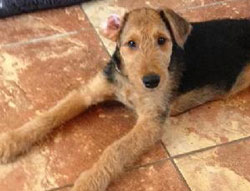 Alethea the Airedale Terrier