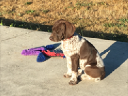 Amara Bower the German Shorthaired Pointer