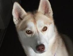 Amber the Siberian Husky