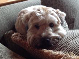 Annie-Soft-Coated-Wheaten-Terrier