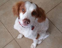 Augustus the Brittany Spaniel