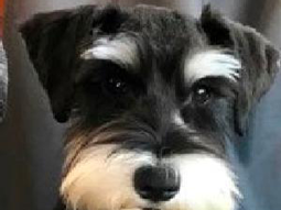 Bailey Edgington the Miniature Schnauzer