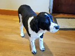 Bella the English Springer Spaniel