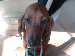 Bella the Redbone Coonhound