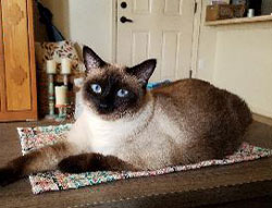 Blue the Siamese