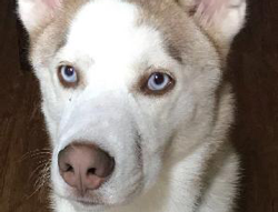 Blue the Siberian Husky