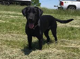 Brook-Labrador-Retriever