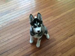Buddy the Siberian Husky