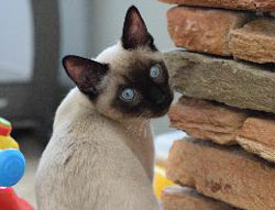 Carlos the Siamese