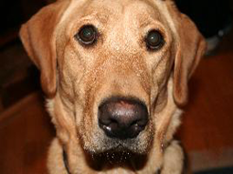 Charlie the Labrador Retriever