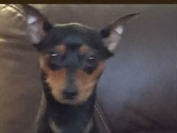 Chula the Minature Pinscher