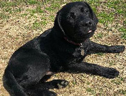 Coal the Labrador Retriever
