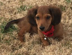 Cooper the Dachshund
