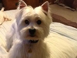 Corey the West Highland White Terrier