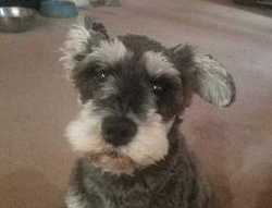 Daisy the Miniature Schnauzer