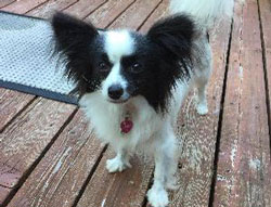 Daisy the Papillon