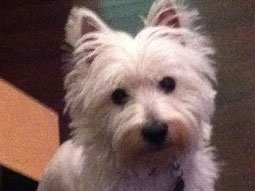 Daisy the West Highland Terrier