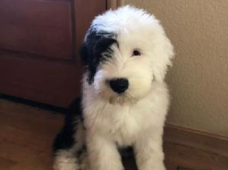 Dharma the Old English Sheepdog