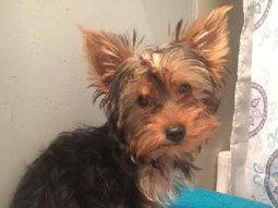Duke-Yorkshire-Terrier