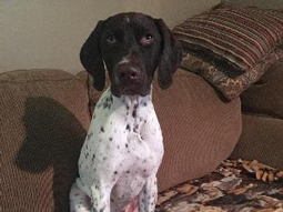 Dunkel-German-Shorthaired-Pointer