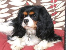 Emma the Cavalier King Charles Spaniel