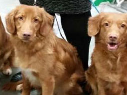 Gatsby-Nova-Scotia-Duck-Tolling-Retriever