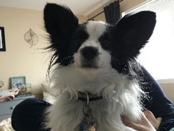 Gatsby the Papillon