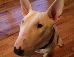 Gemma the Bull Terrier