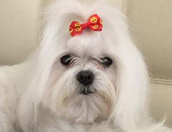 Gidget the Maltese