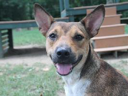 Goose the Shepherd Mix