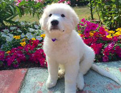 Gracie the Great Pyrenees