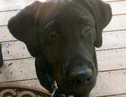 Guinness the Labrador Retriever