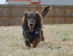 Harley the Longhaired Dachshund