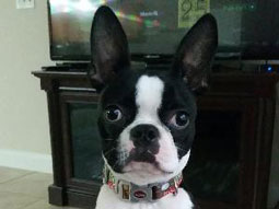 Hurley the Boston Terrier