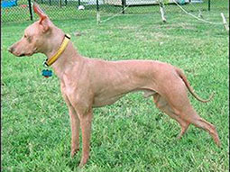 Inti-Wasi-Peruvian-Hairless-Dog