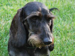 Isabella the Wirehaired Dachshund