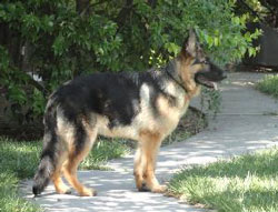 Jacob the German Shepherd