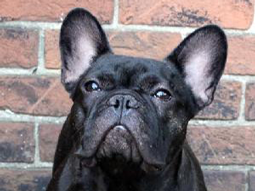 Jett the French Bulldog