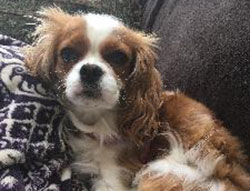 Josephine the Cavalier King Charles Spaniel