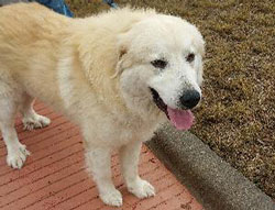 Kevin the Great Pyrenees