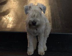 Leia the Soft Coated Wheaton Terrier