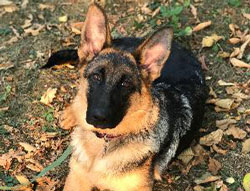 Leyna-Isana the German Shepherd