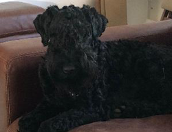 Lily the Kerry Blue Terrier