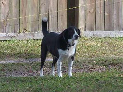 Lola-Border-Collie-Mix
