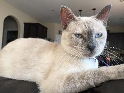 Lola-Siamese-Cat