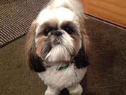 Machi the Shi Tzu
