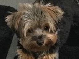 Marilyn-June-Yorkshire-Terrier