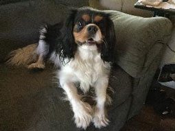 Marley the Cavalier King Charles Spaniel