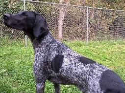 Marlon the German Shorthaired Pointer